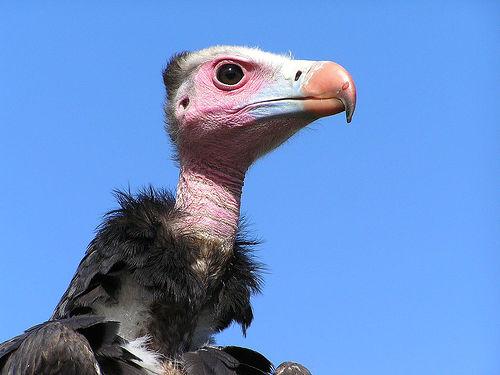 フリー画像| 動物写真| 鳥類| 猛禽類| 鷲/ワシ| ハゲワシ|