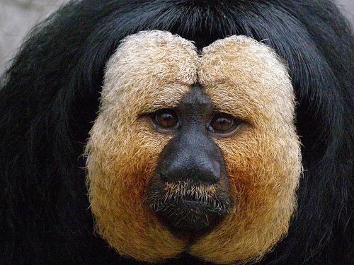 フリー画像| 動物写真| 哺乳類| 猿/サル| シロガオサキ|