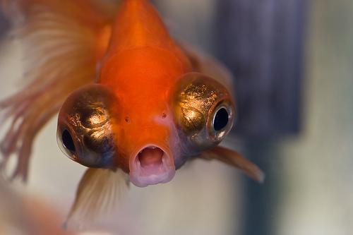 フリー画像| 動物写真| 魚類| 金魚/キンギョ|