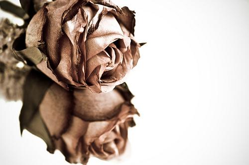 フリー画像  花/フラワー  薔薇/バラ 