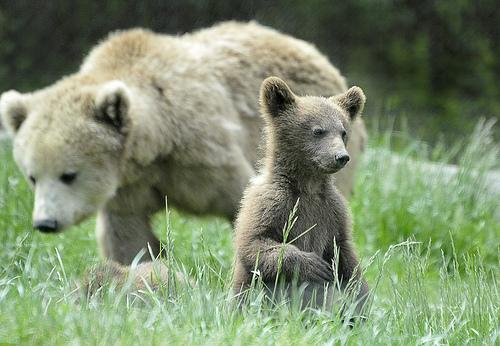 フリー画像| 動物写真| 哺乳類| 熊/クマ| 親子/家族| 子熊|