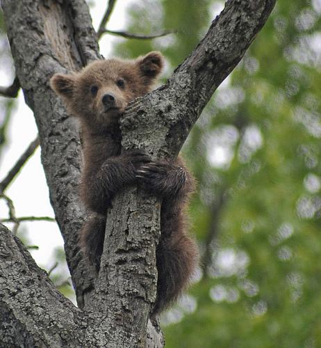 フリー画像| 動物写真| 哺乳類| 熊/クマ| 子熊|