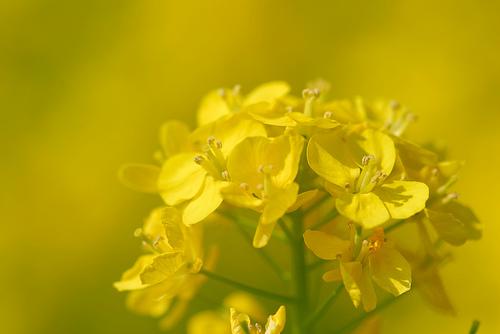 フリー画像| 花/フラワー| 菜の花| 黄色/イエロー| イエロー/花|