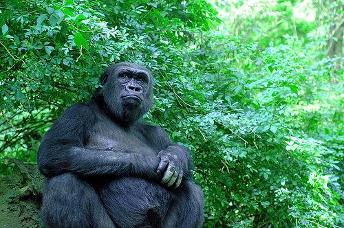 フリー画像| 動物写真| 哺乳類| 猿/サル| ゴリラ| マウンテンゴリラ|