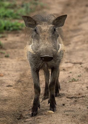 フリー画像| 動物写真| 哺乳類| 猪/イノシシ| イボイノシシ|