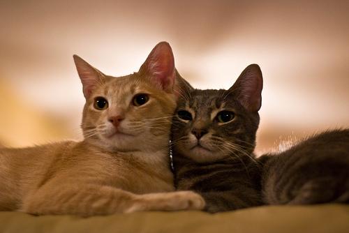 フリー画像| 動物写真| 哺乳類| ネコ科| 猫/ネコ| 恋人/カップル| チャトラ| サバトラ|
