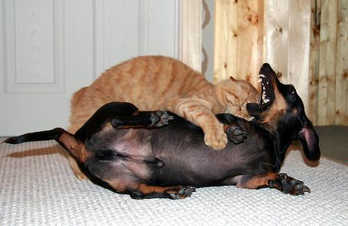 フリー画像| 動物写真| 哺乳類| ネコ科| 猫/ネコ| イヌ科| 犬/イヌ| 格闘/決闘| ミニチュアダックスフンド| チャトラ|