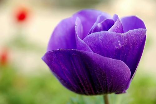 フリー画像| 花/フラワー| アネモネ/牡丹一華/紅花翁草| パープル/花|