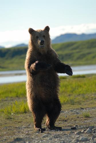 フリー画像| 動物写真| 哺乳類| 熊/クマ| 立ち上がる|