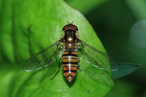 フリー画像| 節足動物| 昆虫| 虻/アブ|