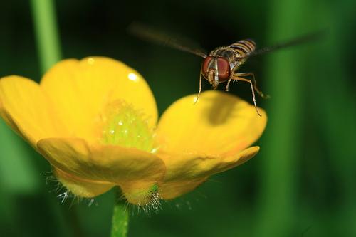 フリー画像| 節足動物| 昆虫| 虻/アブ| 花/フラワー|