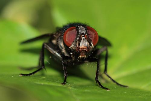 フリー画像| 節足動物| 昆虫| 蝿/ハエ|