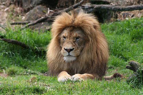 フリー画像| 動物写真| 哺乳類| ネコ科| ライオン| 雄/オス|