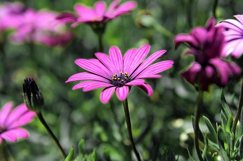 フリー画像| 花/フラワー| ヒナギク/デイジー | アフリカンデイジー| ピンク/花|