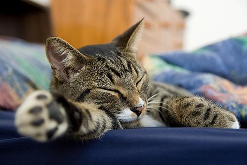フリー画像| 動物写真| 哺乳類| ネコ科| 猫/ネコ| 寝顔/寝相/寝姿| キジトラ|