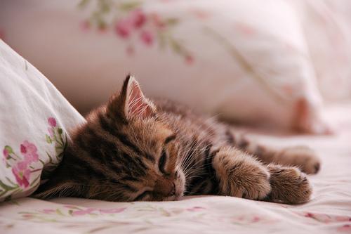 フリー画像| 動物写真| 哺乳類| ネコ科| 猫/ネコ| 子猫| 寝顔/寝相/寝姿| キジトラ|
