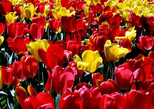 フリー画像| 花/フラワー| チューリップ| 花畑| レッド/花| イエロー/花|