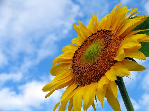 フリー画像| 花/フラワー| 向日葵/ヒマワリ| イエロー/花|
