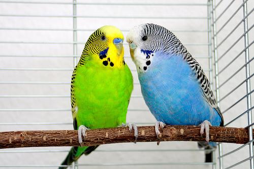 フリー画像| 動物写真| 鳥類| インコ科| セキセイインコ| 恋人/カップル|