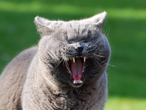 フリー画像| 動物写真| 哺乳類| ネコ科| 猫/ネコ| 欠伸/あくび| 叫ぶ|