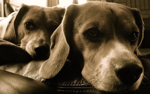 フリー画像| 動物写真| 哺乳類| イヌ科| 犬/イヌ| ビーグル犬| セピア|
