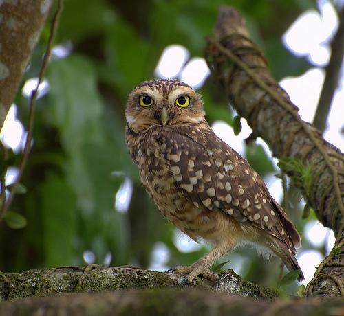 フリー画像| 動物写真| 鳥類| 野鳥| 猛禽類| アナホリフクロウ|