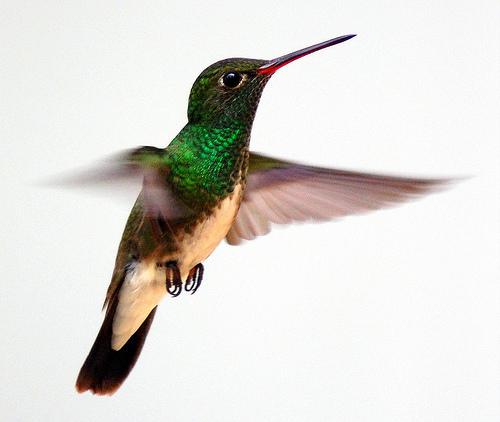 フリー画像| 動物写真| 鳥類| 野鳥| ハチドリ/ハミングバード|