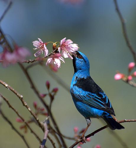 フリー画像| 動物写真| 鳥類| 野鳥| フウキンチョウ族| ヒワミツドリ| 青い鳥|