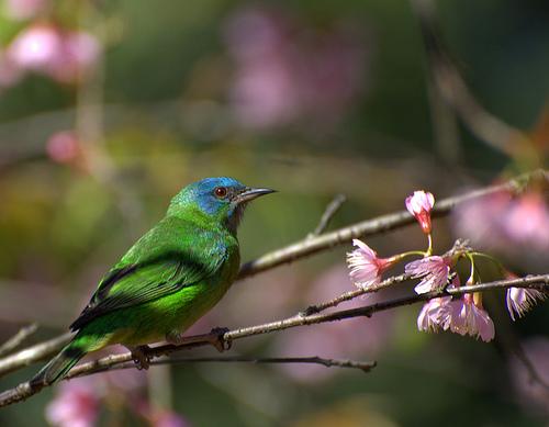 フリー画像  動物写真  鳥類  野鳥  フウキンチョウ族  ヒワミツドリ 