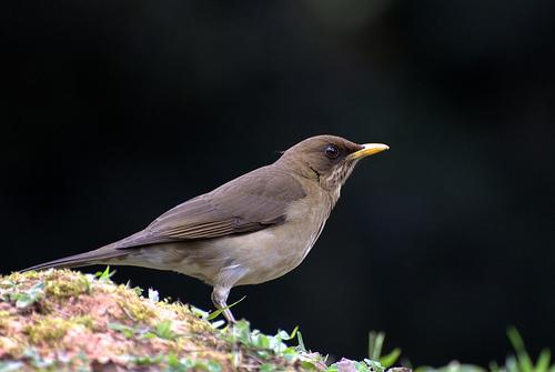 フリー画像| 動物写真| 鳥類| 野鳥| キバラツグミ|