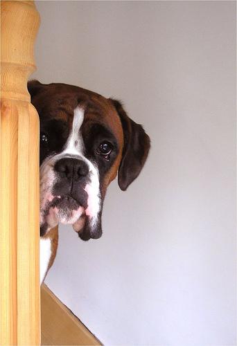 フリー画像| 動物写真| 哺乳類| イヌ科| 犬/イヌ| ボクサー犬| 覗く/見る|