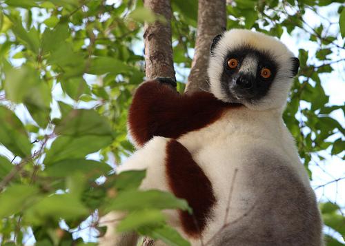 フリー画像| 動物写真| 哺乳類| 猿/サル| ベローシファカ|