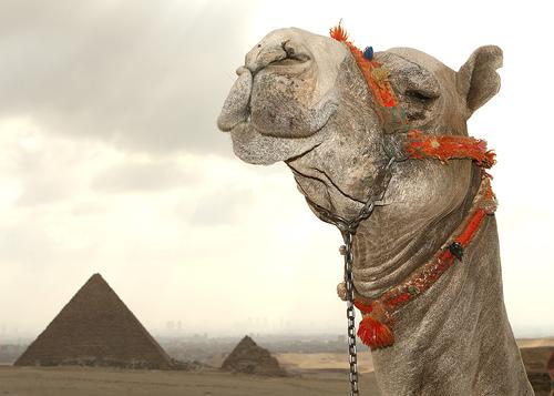 フリー画像| 動物写真| 哺乳類| ラクダ| 建造物/建築物| ピラミッド| エジプト風景|