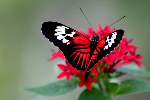 フリー画像| 節足動物| 昆虫| 蝶/チョウ| 花/フラワー|