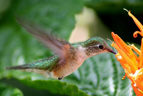フリー画像| 動物写真| 鳥類| 野鳥| ハチドリ/ハミングバード| 緑色/グリーン|