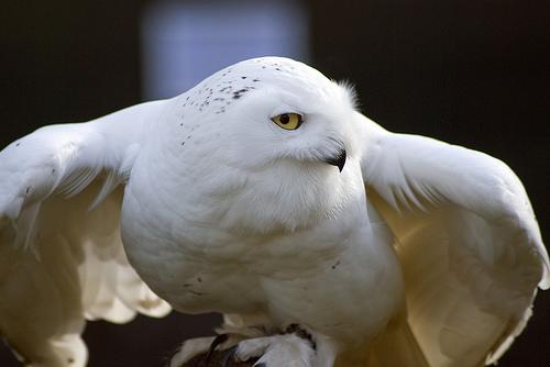 フリー画像  動物写真  鳥類  猛禽類  梟/フクロウ  白ふくろう/シロフクロウ 