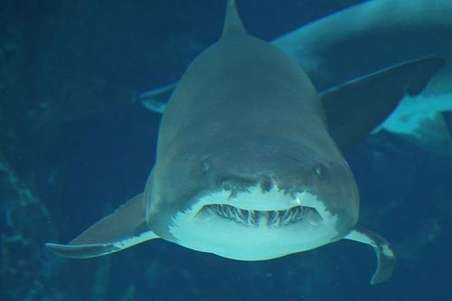 フリー画像| 動物写真| 魚類| 鮫/サメ|