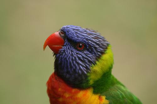 フリー画像| 動物写真| 鳥類| インコ科| ゴシキセイガイインコ|
