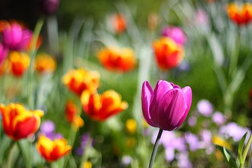 フリー画像  花/フラワー  チューリップ  花畑 