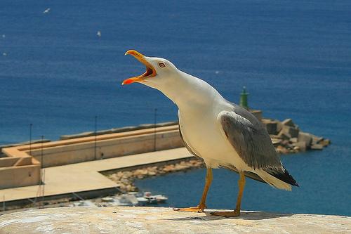 フリー画像| 動物写真| 鳥類| 野鳥| カモメ| 叫ぶ|