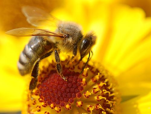 フリー画像| 節足動物| 昆虫| 蜂/ハチ| 蜜蜂/ミツバチ| 黄色/イエロー|