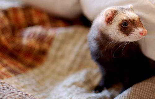 フリー画像| 動物写真| 哺乳類| 小動物| フェレット|