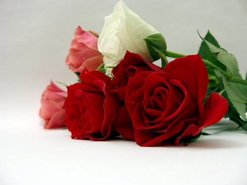 フリー画像| 花/フラワー| 薔薇/バラ|