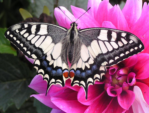 フリー画像| 節足動物| 昆虫| 蝶/チョウ| アゲハ蝶/アゲハチョウ| キアゲハ|