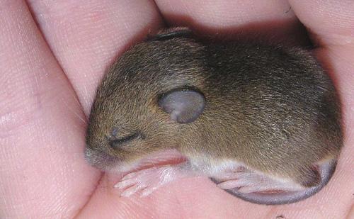 フリー画像| 動物写真| 哺乳類| ネズミ上科| 小動物| ネズミ| 寝顔/寝相/寝姿| 赤ちゃん/動物|