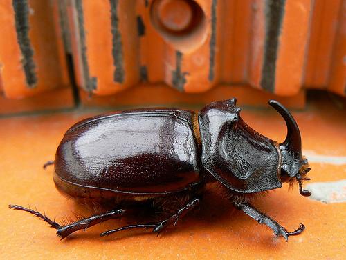 フリー画像| 節足動物| 昆虫| カブトムシ|