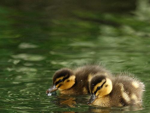 フリー画像| 動物写真| 鳥類| 鴨/カモ| 雛/ヒナ|