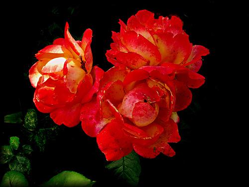 フリー画像| 花/フラワー| 薔薇/バラ| レッド/花|