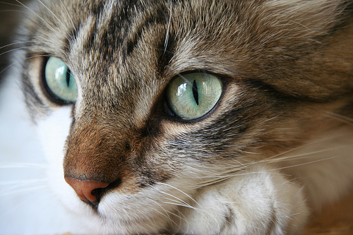 フリー画像| 動物写真| 哺乳類| ネコ科| 猫/ネコ| 三毛猫|