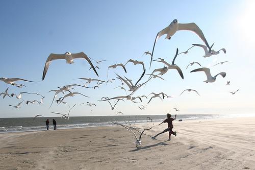 フリー画像| 動物写真| 鳥類| 野鳥| カモメ| 大群/群集| ビーチ/海辺|